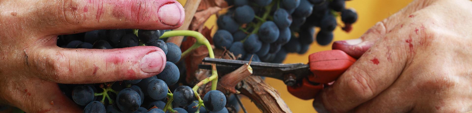 La nostra vendemmia: uve raccolte a mano secondo la tradizione. Nel dettaglio le mani di Costantino Charrère.