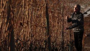 Costantino Charrère al lavoro nelle vigne del Côteau ad Aymavilles